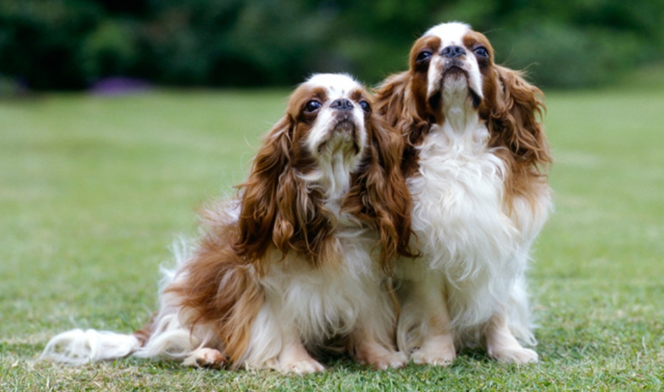 The English Toy Spaniel